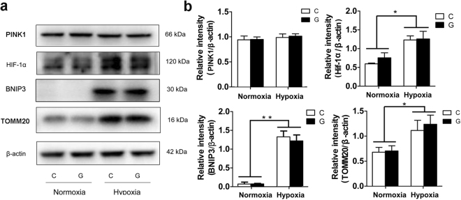 "The HIF-1α-BNIP3 pathway was activated during hypoxia. ( a ) Analysis of mitophagy-related protein expression in Neuro-2a cells by immunoblotting. Neuro-2a cells were exposed to hypoxia and/or high glucose for 48 h. Total cellular extracts were analysed by immunoblotting with antibodies against HIF-1α, BNIP3, PINK1 and TOMM20. ( b ) The ImageJ densitometric analysis is shown. ""C"" represented control conditions (25 mM glucose), ""G"" represented high glucose conditions (75 mM glucose). The results are expressed as the mean ± SEM from three independent experiments. Two-way ANOVA, ** p"