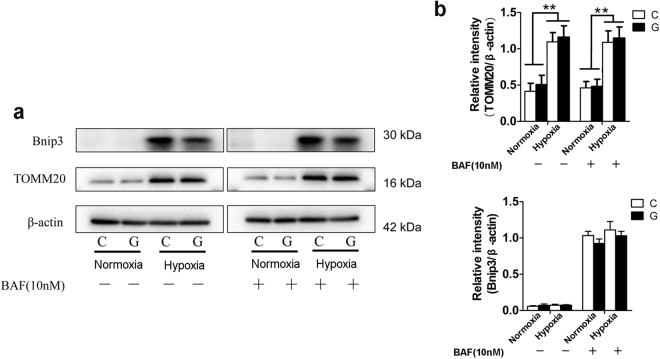 "The accumulation of damaged mitochondria under hypoxia was independent of autophagy impairment. ( a ) Neuro-2a cells were submitted to hypoxia and/or high glucose for up to 42 h and then subjected to 10 nM BAF for an additional 6 h. Immunoblots were performed to determine the levels of BNIP3 and TOMM20. ( b ) The ImageJ densitometric analysis from immunoblots is shown. ""C"" represented control conditions (25 mM glucose), ""G"" represented high glucose conditions (75 mM glucose). The results are expressed as the mean ± SEM from three independent experiments. Two-way ANOVA, ** p"
