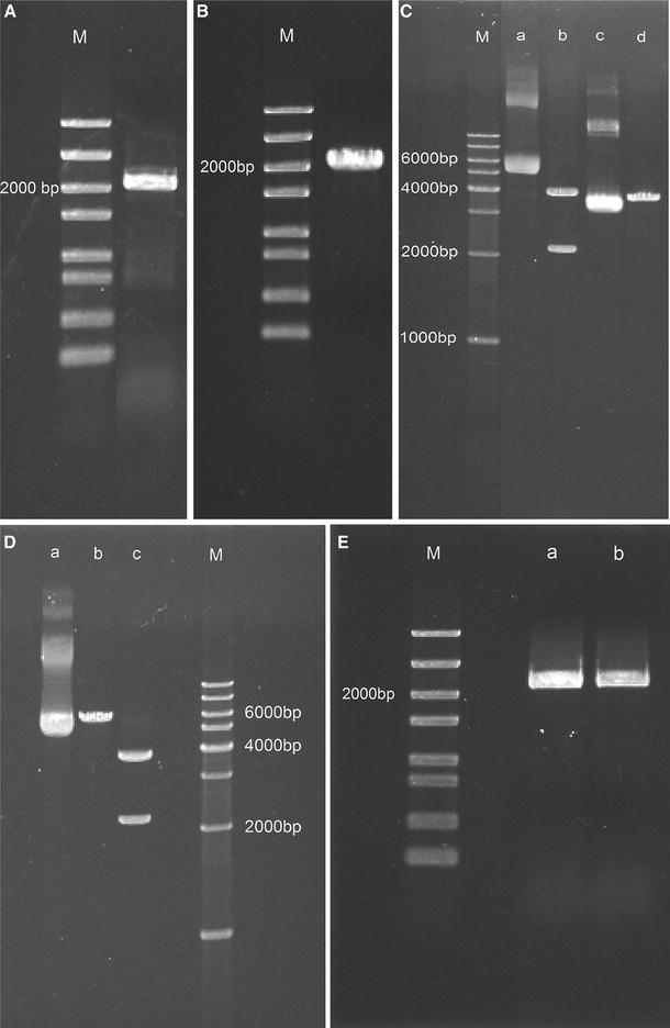 Electrophoresis results of the construction of transgenic strains on a 1% agarose gel. A PCR products of target gene; B purified target gene from PCR products; C lane a: ppk +pEASY-Blunt vector; line b: ppk +pEASY-Blunt vector digested with Hin dIII and Kpn I restriction enzymes; line c: pSyn_1 vector; line d: pSyn_1 vector digested with Hin dIII and Kpn I restriction enzymes; D lane a: ppk +pSyn_1 vector; line b: ppk +pSyn_1 vector digested with Hin dIII or Kpn I restriction enzymes; line c: ppk +pSyn_1 vector digested with Hin dIII and Kpn I restriction enzymes; E PCR products from ppk -type strain plasmid (lane a and b); M in A , B , E was 5 Kb DNA Marker, in C , D was 1 Kb DNA Ladder