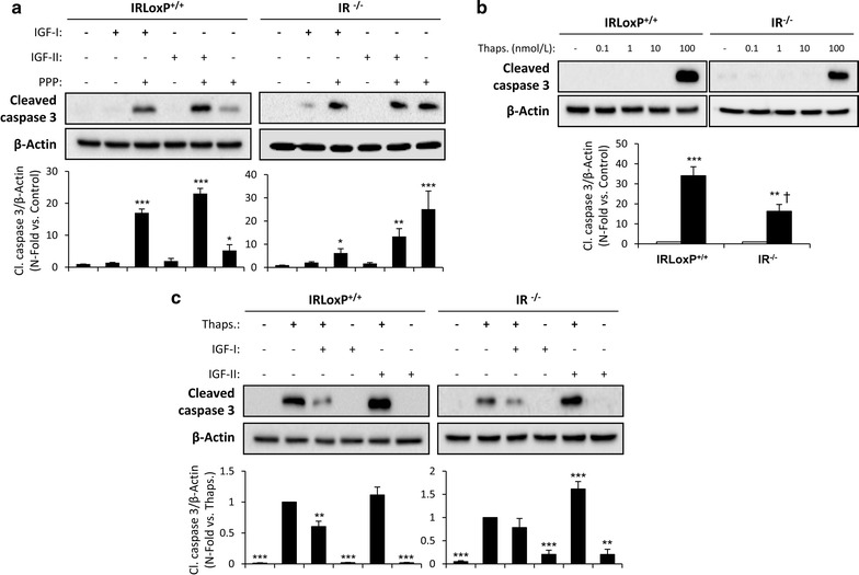 Antiapoptotic effect of IGF-IR on VSMCs. a Effect of IGF-IR inhibition by PPP (1 µmol/L) on cleaved caspase 3 levels analyzed by Western blot in IRLoxP +/+ and IR −/− VSMCs stimulated with IGF-I (10 nmol/L) or IGF-II (10 nmol/L) for 24 h. b Dose–response effect of thapsigargin (0-100 nmol/L, 18 h) on cleaved caspase 3 levels in IRLoxP +/+ and IR −/− VSMCs. c Effect of IGF-I or IGF-I pretreatment (10 nmol/L, 1 h) in IRLoxP +/+ and IR −/− VSMCs treated with thapsigargin (100 nmol/L) for 18 h. Experiments were performed 4 or 5 times. *p