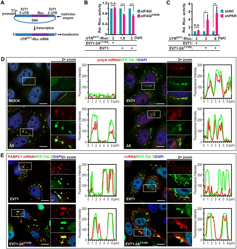 2A induces aSGs to stall host mRNAs and release viral mRNAs. (A-C) Effects of EV71-induced aSGs and EV71 C110S -induced tSGs on viral translation. Graphic description of EV71-UTR driven Renilla luciferase reporter expression (A) and reporter assays in HeLa cells (B and C). Cells were infected with EV71 for 3h to induce aSG formation or infected with EV71-2A C110S for 6h to induce tSG formation before transfection with UTR EV71 -Rluc mRNAs, and the luciferase activity was measured at indicated time post-transfection. The EV71-2A C110S -infected eIF4GI/eIF4GI G689E -HA-HeLa cells and EV71-infected shNC/shPKR-HeLa cells were negative controls. n = 3, mean±SD, n.s., no statistical significance; *p