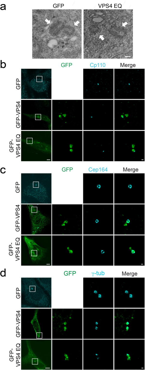 Expression of VPS4 EQ causes reduced γ-tubulin staining at centrosomes but does not affect overall centriolar structure. ( a ) NIH3T3 cells grown on gridded coverslips were fixed and imaged to locate cells expressing GFP or GFP-VPS4 EQ . Cells were then processed for electron microscopy as described in material and methods. Cells selected by fluorescence microscopy were located in the TEM and serial sections were collected to locate the centrosome (supplementary Fig. S3 ). Scale, 0.2 μm. ( b–d ) The organization of known centrosomal proteins was tested in fixed NIH3T3 cells expressing GFP (control), GFP-VPS4 or GFP- VPS4 EQ , immunostained with the indicated antibodies. Cells were imaged using 3D SIM. Shown are maximum intensity projections of reconstructed images from representative cells. Each panel shows (from left to right) the entire cell (scale, 5 μm); zoomed-in images (white box) of each channel and a zoomed-in overlay image (scale, 0.2 μm). ( b ) Endogenous CP110 (antibody staining, blue) GFP n = 59, VPS4 n = 10, VPS4 EQ n = 20. ( c ) Endogenous Cep164 (antibody staining, blue) GFP n = 10, GFP-VPS4 n = 8, GFP- VPS4 EQ n = 15. ( d ) Endogenous γ-tubulin (antibody staining, blue). GFP n = 20, GFP-VPS4 n = 15, GFP-VPS4 EQ n = 21. Note that while CP110 and Cep164 are not affected by VPS4 EQ expression, γ tubulin staining is severely reduced.