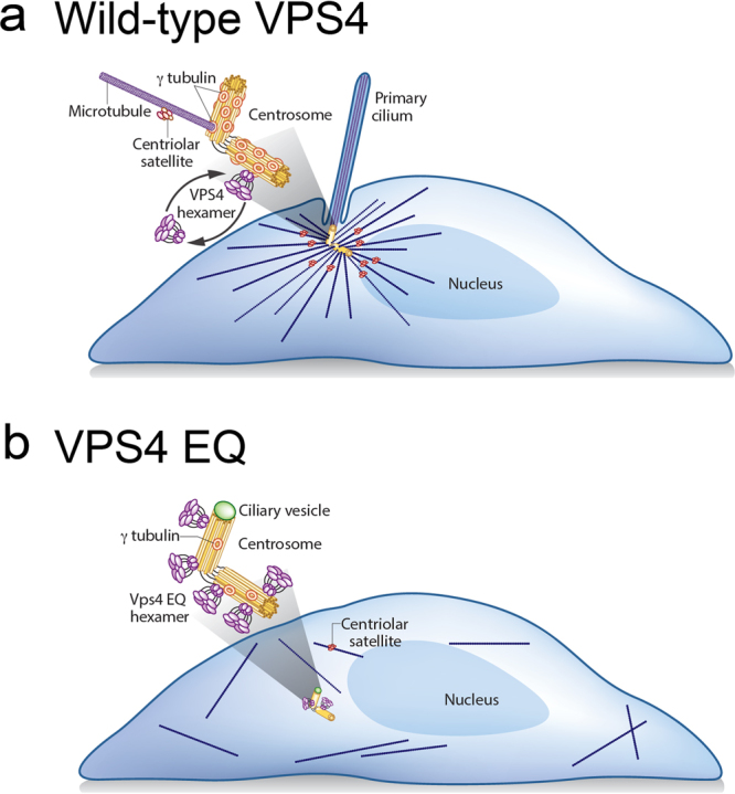 A model for VPS4 function at centrosomes. ( a ) In normal conditions VPS4 dynamically associates with the centrosome. This dynamic VPS4 localization ensures proper γ-tubulin organization and MT growth at the centrosome where it also facilitates ciliogenesis. ( b ) Inhibition of VPS4 dynamic association with the centrosome using the ATP locked mutant VPS4 EQ , leads to reduced γ-tubulin levels and loss of γ-tubulin ring structure at the centrosome. Consequently, MT growth from centrosomes is impaired, centrosome positioning is misregulated, centriolar satellites are lost, and ciliogenesis is inhibited.