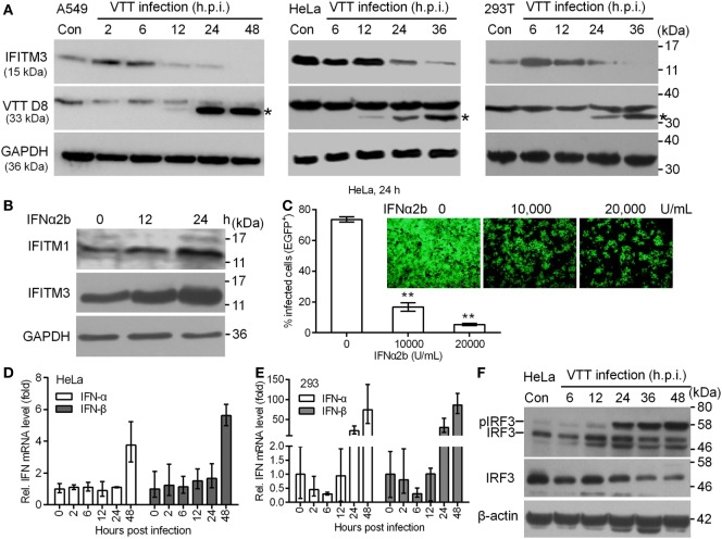 Expression kinetics of endogenous interferon-inducible transmembrane protein 3 <t>(IFITM3)</t> protein modulated by virus infection. (A) A549, HeLa, and 293T cells were infected with VACV Tian Tan (VTT) at 0.1 PFU/cell for indicated time points after infection. Total cell proteins were extracted and the expression kinetics of IFITM3 and VTT D8 protein (*) were measured by Western blot and normalized to <t>GAPDH.</t> (B) Western blot analysis of IFITM1 and IFITM3 expression in HeLa cells treated with IFNα2b (10,000 U/mL) at indicated time point posttreatment. (C) Effect of IFNα2b at indicated concentrations on vaccinia virus infection in HeLa cells evaluated by flow cytometry and fluorescence microscope. (D,E) qPCR analysis of IFNα and IFNβ in HeLa and 293T cells infected by VTT infection at indicated time points postinfection. (F) Western blot analysis of IRF3 expression and phosphorylation in HeLa cells treated by VTT at indicated time points postinfection. ** P