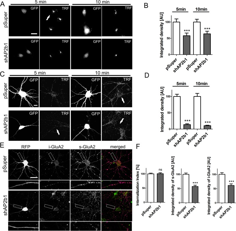 In developing neurons, AP2 contributes to endocytosis of transferrin receptor but not GluA2 under basal culture conditions. a Representative confocal images of RAT2 fibroblasts exposed to fluorescently labeled transferrin. Cells were electroporated for 2 days with empty pSuper or pSuper-shAP2b1#2 (shAP2b1) and <t>pEGFP-C1</t> for the identification of transfected cells ( arrows ). After 2 days, the cells were starved overnight prior to 5 or 10 min fluorescently labeled transferrin uptake. Scale bar = 20 μm. b Quantification of integrated density of transferrin fluorescence in the cell body of RAT2 fibroblasts transfected and treated as in a . The data are expressed as a mean value normalized to control. Error bars indicate SEM. *** p