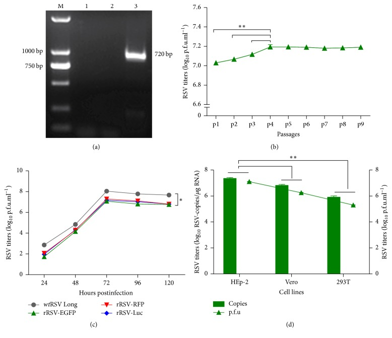 Characterization of rRSV-EGFP. (a) Identification of the rescued rRSV-EGFP by RT-PCR. M, DNA Ladder DL2000; control of HEp-2 cells (1), wt RSV Long infected HEp-2 cells (2), or rRSV-EGFP infected HEp-2 cells (3). (b) The replication titers of rRSV-EGFP during serial blind passages from p1 to p9 by immunoplaque assay. (c) The growth kinetic of rRSV-EGFP. The growth curve for rRSV-EGFP was compared with those for wt RSV Long, rRSV-RFP, and rRSV-Luc. Each virus was harvested every other 24 h postinfection and titers were assayed by immunoplaque assay. (d) The replication capacity of the rRSV-EGFP in HEp-2, Vero, or 293T cells. Viruses were harvested at 48 h postinfection and titers were determined by assays of immunoplaque and RT-qPCR. Data were shown as mean ± SD. ∗ P