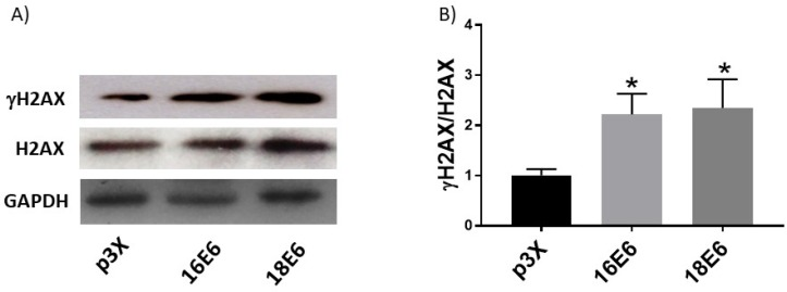 Human papillomavirus (HPV) E6 oncoproteins increase DNA damage in C33A cells. Representative immunoblots (A) showing total H2AX and γH2AX in C33A cells 48 hours after transfection with Flag-tagged HPV16 E6, HPV18 E6 and p3X vector. Glyceraldehyde 3 phosphate dehydrogenase (GAPDH) was used as a loading control. Densitometry of γH2AX and H2AX proteins (B). Data are expressed as the ratio of relative units between γH2AX and H2AX. Data are shown as the mean±SD. Tukey's test *p