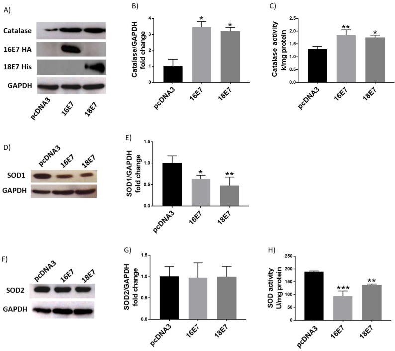 Human papillomavirus (HPV) E7 oncoproteins increase catalase protein levels and activity and decrease SOD1 protein levels and SOD activity. Representative immunoblot (A) and densitometric analysis (B) of catalase levels in C33A cells 48 hours after transfection with HA-tagged HPV16 E7, HIS-tagged HPV18 E7 or control pcDNA3 plasmids. Catalase enzymatic activity in cells harbouring HPV E7 oncoproteins (C). Representative immunoblot of SOD1 and SOD2 (D, F) and respective densitometric analysis (E, G) in C33A transfected cells. <t>Glyceraldehyde</t> 3 phosphate dehydrogenase (GAPDH) was used as a loading control. SOD enzymatic activity in C33A transfected cells is shown (H). Data is expressed as the mean±SD, Tukey's test *p