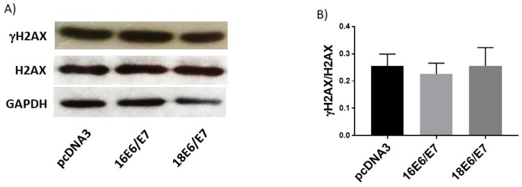 Human papillomavirus (HPV) E6/E7 co-expressed oncoproteins do not affect DNA integrity in C33A cells. Immunoblot of γH2AX, H2AX (A) and densitometric analysis (B) of γH2AX in relation to H2AX. Glyceraldehyde 3 phosphate dehydrogenase (GAPDH) was used as a loading control. Data are expressed as the ratio of relative units between γH2AX and H2AX. Data are presented as the mean±SD, n=3.