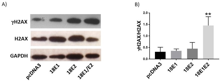 Human papillomavirus (HPV) 18 E1/E2 promote DNA damage in C33A transfected cells. Representative immunoblot (A) and densitometric analysis (B) of γH2AX and H2AX proteins. Glyceraldehyde 3 phosphate dehydrogenase (GAPDH) was used as a loading control. Data are expressed as the ratio of relative units between γH2AX and H2AX at 48 hours post transfection and presented as the mean±SD, Tukey's test **p