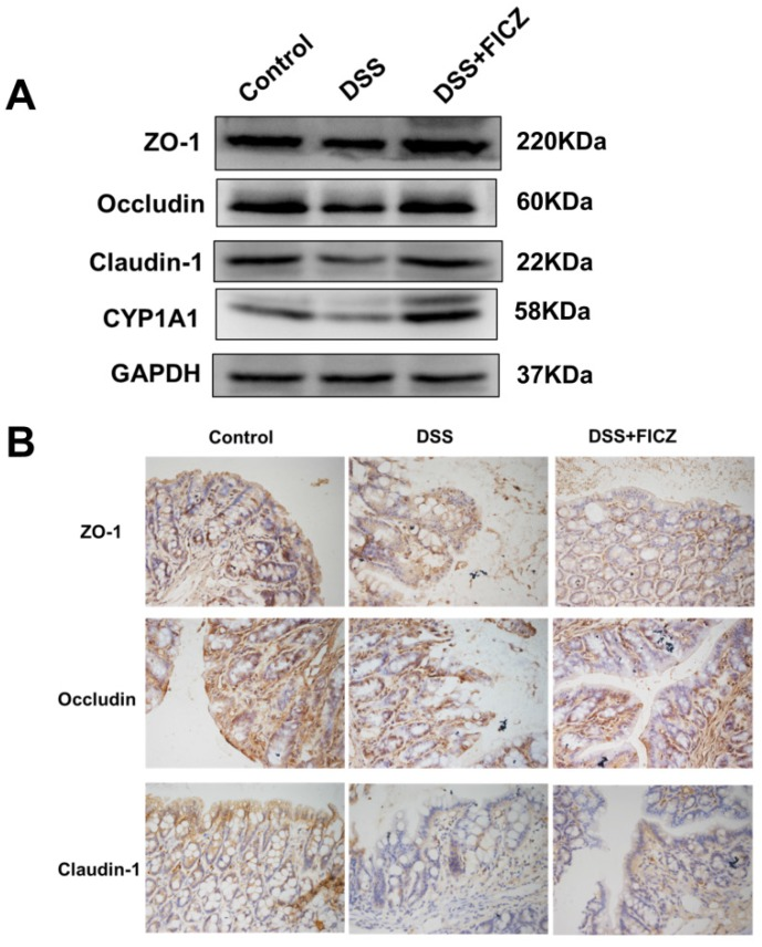 FICZ prevents DSS-induced disruption of TJ. (A) Expressions of TJ proteins (ZO-1, <t>Occludin</t> and Claudin-1) and CYP1A1 in the colonic mucosa were evaluated by western blotting. (B) Immunohistochemical analysis of TJ proteins in the colonic mucosa. Magnification: ×400.