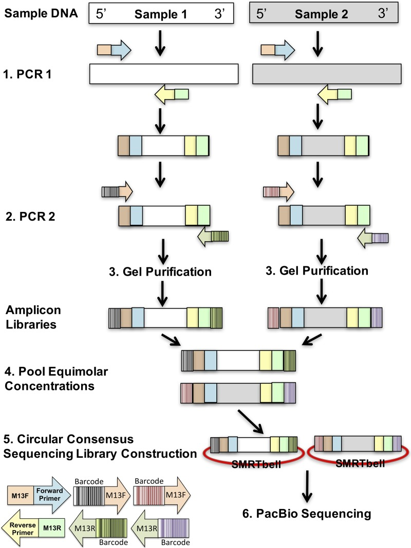 Schematic overview of the PacBio barcoding approach. For simplicity, this schematic shows how amplicon libraries are created from two separate samples. The approach includes two PCRs, the first specific to the target with M13 motifs on the 5′ and 3′ ends of the forward and reverse primers, respectively. The second PCR uses the product from step 1 and involves the addition of unique forward and reverse barcodes to the amplicons. Overall, the amplicon library created for each sample possesses a unique combination of barcodes, allowing both sample libraries to be pooled and distinguished postsequencing. Upon pooling, equal concentrations of the amplicon libraries (step 4) are submitted for PacBio sequencing by the CCS approach entailing circularization of the amplicons (SMRTbell).