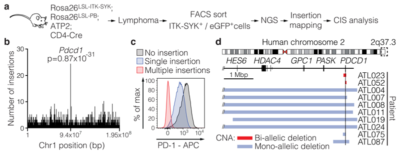 Identification of PDCD1 alterations in T cell lymphoma. a, Schematic representation of the transposon screen to discover T cell lymphoma genes . Transposons from the ATP2 transgene were mobilized by piggyBac in ITK-SYK-expressing T cells. The tumour cells were then FACS-sorted based on eGFP expression, and the transposon insertion sites were identified by next-generation sequencing and bioinformatics analysis. b, Transposon insertion densities within pooled lymphomas (n=30 mice) for the murine chromosome 1, total: 2732 insertions and Pdcd1 locus: 23 insertions. The p-value was calculated with a one-sided Poisson distribution based test, which assumes transposon insertions occurring at a constant rate. c, Flow cytometric analysis of PD-1 expression on lymphoma cells from diseased Rosa26 LSL-ITK-SYK ;Rosa26 LSL-PB ;ATP2;CD4-Cre mice. Lymphoma sample without any transposon cassette within the Pdcd1 gene (No insertion), with a single transposon cassette located in the Pdcd1 locus (Single insertion) or with multiple transposon cassettes within Pdcd1 (Multiple insertions). d, The dashed box indicates the genomic region q37.3 on human chromosome 2 that is shown in detail in the lower part of the panel (top). Mono- or bi-allelic deletions of the PDCD1 gene detected in human T cell lymphoma patients are shown (bottom). The horizontal bars indicate the regions that were affected by the CNAs. The colour of the bar indicates the type of CNA. CNA, copy number aberration; Mbp, million base pairs c, Representative results from at least 15 mice. d, Results of an analysis that included all available WGS data within one published dataset.