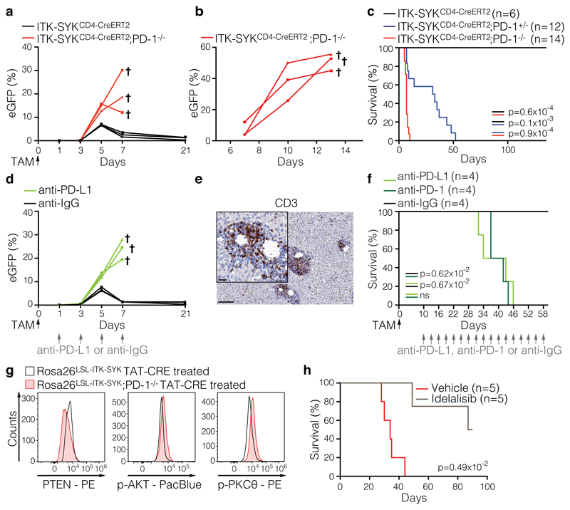 PD-1 is a haploinsufficient tumour suppressor in vivo . a, ITK-SYK CD4-CreERT2 and ITK-SYK CD4-CreERT2 ;PD-1 -/- mice (n=3 mice per genotype) received single tamoxifen injections (0.25 mg). The percentages of ITK-SYK-expressing eGFP + blood lymphocytes were determined using flow cytometry. b , Fifty million splenic cells from diseased ITK-SYK CD4-CreERT2 ;PD-1 -/- mice (n=3 donors) were intravenously transferred to NSG mice (n=3 recipients). The percentage of eGFP + lymphocytes in the recipient's blood is indicated. NSG, NOD SCID Il2rg −/− c , Survival of ITK-SYK CD4-CreERT2 , ITK-SYK CD4-CreERT2 ;PD-1 +/- and ITK-SYK CD4-CreERT2 ;PD-1 -/- mice (n=6, n=12 and n=14). All mice received a single tamoxifen dose on day zero. P=two-sided log-rank test d , The percentages of ITK-SYK-expressing eGFP + peripheral blood lymphocytes of checkpoint inhibitor-treated ITK-SYK CD4-CreERT2 mice were determined by FACS. ITK-SYK CD4-CreERT2 mice received single tamoxifen injections. Beginning twenty-four hours later, the mice received 200 µg of anti-PD-L1 or control antibody (n=3 mice per condition) every second day. e, Anti-CD3 antibody-stained liver section from a diseased anti-PD-L1-treated ITK-SYK CD4-CreERT2 mouse from the experiment shown in d , Scale bars represent 100 µm and 20 µm (inset). f, Survival of ITK-SYK CD4-CreERT2 mice that received checkpoint inhibitor treatment starting ten days after tamoxifen administration. ITK-SYK CD4-CreERT2 mice received single injections of tamoxifen on day zero (0.25 mg). Starting ten days after injection, mice were administered 200 µg of anti-PD-L1 or anti-PD-1 antibody or control antibody (n=4 mice per condition) every third day. P=two-sided log-rank test g, Phosflow analyses of PTEN, p-AKT and p-PKCθ levels in ITK-SYK-expressing T cells isolated from the C57BL/6 recipients presented in Extended Data Figure 6b . The genotype of the transplanted cells is indicated. h, Survival of the PI3Kδ inhibitor- or vehicle-treated recipient mice. Tamo