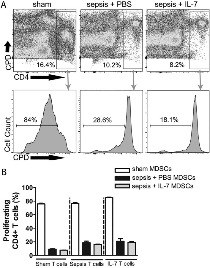 MDSCs from septic mice efficiently suppress T cell proliferation. Mice were injected with PBS i.p. (Sham) or subjected to sepsis induction. IL-7 (Sepsis + IL-7) or PBS (Sepsis + PBS) was injected daily for 5 days from day 5–9 post sepsis induction. The proliferation of CD4 + T cells in the presence of Gr1 + cells from spleen was analysed 1 week, 1 month and 3.5 months after sepsis induction. (A) Representative flow cytometry images from analysis after 1 month showing proliferation of T cells (determined by dilution of cell proliferation dye, CPD) from septic mice treated with IL-7 when cultured with MDSCs from sham mice (left), sepsis + PBS mice (middle) and sepsis + IL-7 mice (right). (B) Graph representing frequency of proliferating CD4 + T cells from spleen when cultured with MDSCs from spleen from different groups of mice for 3 days. This graph is representative of the experiment performed 1 month post-sepsis induction. n = 3–4 (for all time points). * P