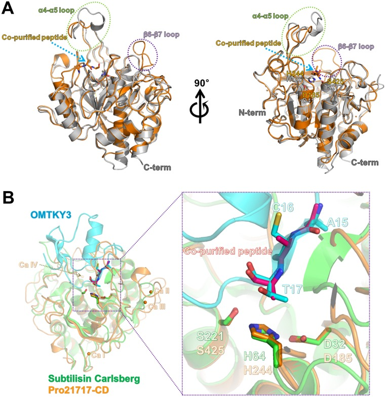 Structural comparison of Pro21717-CD with other serine proteases. (A) Superimposition of Pro21717-CD (orange color) onto AprB2 protease (an extracellular protease from Dichelobacter nodosus ; PDB code: 3LPC; gray color) revealed that Pro21717-CD adopts a novel conformation in the capping-loop region of the active site. (B) Structural comparison of Pro21717-CD (orange) and subtilisin Carlsberg (green) complexed with the protease inhibitor OMTKY3 (cyan). Notably, the conformation of the co-purified peptide in the active site of Pro21717-CD is identical to that of the residues (Ala15[P4], Cys16[P3], and Thr17[P2]) in the subtilisin Carlsberg inhibitor (OMTKY3) (right panel).