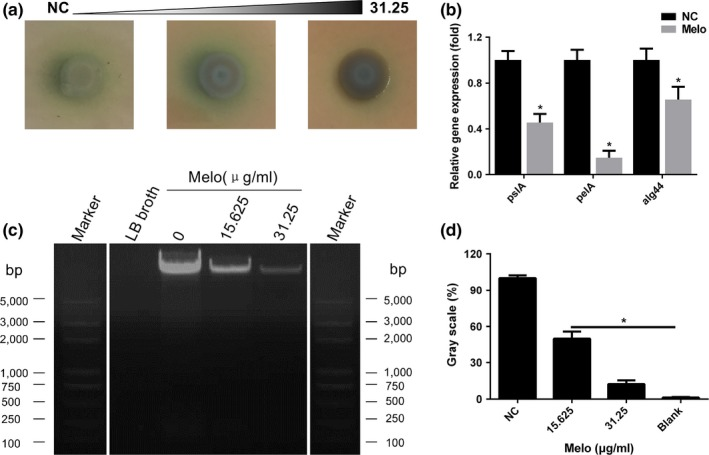 Effect of Melo on extracellular matrix of PAO 1 biofilm. (a) Comparison of colony morphology on Congo red agar plates with different concentrations of Melo. (b) Melo decreased EPS ‐related genes ( pslA, pelA , and alg44 ) expression at the concentration of 15.63 μg/ mL . (c) Effect of Melo on eDNA production determined by agarose gel electrophoresis (the white lines indicated the blank bands were removed, and the left reference band was a copy of the right reference band) and analyzed by the software of ImageJ (d). Bars indicated SE of the mean. *indicates that the mean A570 nm is statistically different from the control group with p