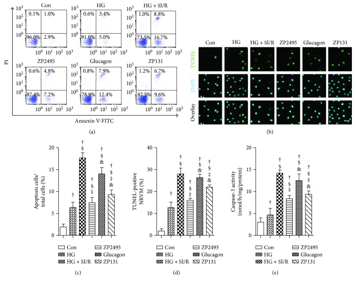 ZP2495 exerted antiapoptotic effect on high-glucose-induced NRVMs after SI/R injury. (a) Apoptosis of the NRVMs determined by annexin V/propidium iodide (PI) double staining and flow cytometry. Region Q2 late apoptotic cells, region Q3 vital cells, and region Q4 early apoptotic cells. (b) Representative images of immunostaining for apoptotic (TUNEL) cells (scale bar = 100 μ m). (c) Quantification of apoptosis cell by flow cytometry and TUNEL staining. (d) Quantification of apoptosis cell by TUNEL staining. (e) Activities of caspase-3. Con: normal glucose medium group; HG: high-glucose medium group; HG + SI/R: HG + SI/R group; ZP2495: HG + SI/R + ZP2495 group; glucagon: HG + SI/R + glucagon group; and ZP131: HG + SI/R + ZP131 group. Presented values are mean ± SEM. † P