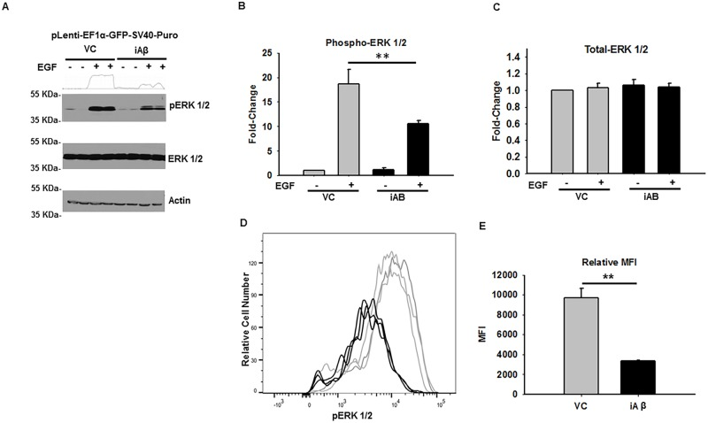 iAβ expression leads to diminished EGF-dependent ERK1/2 phosphorylation. (A)  Immunoblot of phospho-ERK 1/2 and total-ERK 1/2 in VC or iAβ transduced HEK293 cells following EGF stimulation. While total-ERK 1/2 remains unaltered, decreased EGF dependent phospho-ERK 1/2 levels observed in iAβ-transduced cells relative to VC. Two-dimensional gel transformation of phospho-ERK 1/2 intensities performed and shown as histogram. Beta-actin used as loading control.  (B)  Plot of the relative densitometry analysis in biological replicates depicting a relative decrease in phospho-ERK 1/2 levels with data shown as mean ± SE (n = 3) with statistical significance (**p
