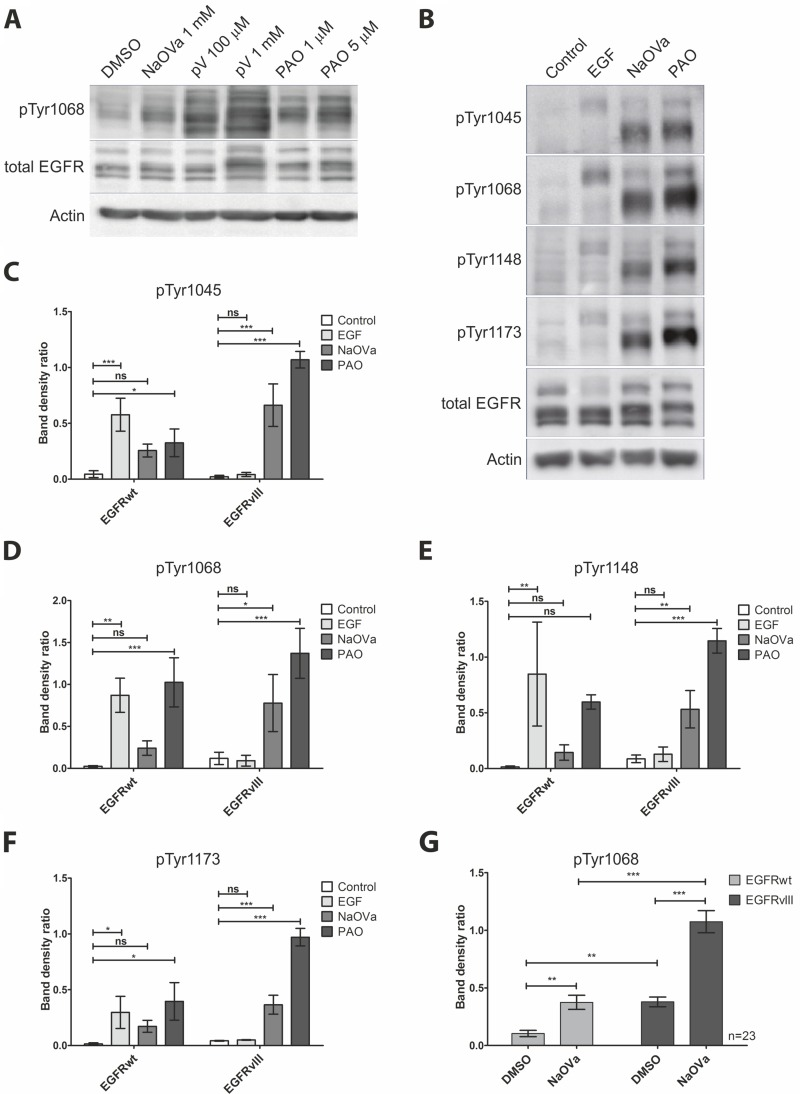 Treatment of DK-MG cells with phosphatase inhibitors results in hyperphosphorylation of EGFRwt and EGFRvIII on majority of tyrosine residues ( A ) Western blot analysis of EGFR phosphorylation in cells treated with NaOVa, pV or PAO at indicated concentrations for 1 h. ( B ) Analysis of phosphorylation status of EGFR on selected tyrosine residues following stimulation with 20 ng/mL EGF, 1 mM NaOVa or 0.5 µM PAO. ( C–F ) Ratio of phosphorylated tyrosine to the total EGFR protein for the wild-type and mutant protein following stimulation as indicated in B, for residue Tyr 1045 (C), Tyr1068 (D), Tyr1148 (E) and Tyr 1173 (F). Statistical analysis performed using one-way ANOVA with post-analysis Bonferroni's multiple comparisons test for each residue within one receptor variant. ( G ) Quantification of phosphorylated tyrosine 1068 to total EGFR for EGFRwt and EGFRvIII is presented. Statistical analysis performed using two-way ANOVA with post-analysis Bonferroni's multiple comparisons test, n = 23. *** p