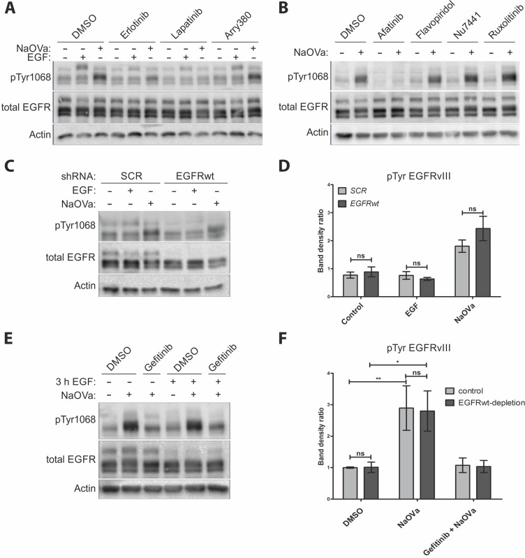 EGFRvIII is not phosphorylated by EGFRwt ( A ) Western blot analysis of cells treated with indicated inhibitors prior to and concurrently with EGF or NaOVa treatment for 1 h. Concentrations of inhibitors were based on literature reports. ( B ) Cells were treated with inhibitors specific to pan-JAK (ruxolitinib), CDK2 (flavopiridol) or DNA-PK (Nu-7441) prior to and concurrently with NaOVa treatment. Concentrations of inhibitors were based on literature reports. ( C ) Cells transiently expressing control scrambled (SCR) shRNA or shRNA targeted against EGFRwt were treated as indicated and analyzed by Western blotting. ( D ) Quantification of blots as shown in C, with columns representing ratio of phosphorylated to total EGFRvIII protein. ( E ) Cells treated with cycloheximide and stimulated with EGF for 3 h as indicated. Where indicated, cells were incubated for another 30 min with DMSO or gefitinib prior to 1 h treatment with NaOVa. ( F ) Quantification of blots as in E for EGFRvIII, with normalization to DMSO treated Control cells. Statistical analysis performed using two-way ANOVA with post-analysis Bonferroni's multiple comparisons test. ** p