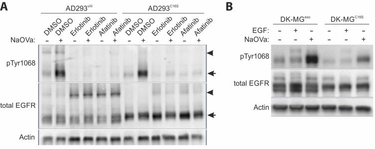 Homodimerization of EGFRvIII ( A ) Semi-native Western blot (non-reducing conditions) analysis of the AD293 cell lines expressing EGFRvIII or EGFRvIIIC16S treated simultaneously with EGFR TKIs and NaOVa, as indicated. Arrowheads indicate dimers, arrows point to monomers. ( B ) DK-MG low , cell line with marginal endogenous EGFRvIII expression, were transduced to constitutively express either naïve EGFRvIII (DK-MG exo ) or C16S mutated version (DK-MG C16S ). Cells were treated with NaOVa or EGF, as indicated. Immunoblots have been uniformly adjusted for brightness and contrast to facilitate interpretation.