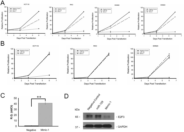 Mimic-1 inhibits colon cancer cell proliferation in HCT116, RKO, SW480, and SW620 colon cancer cell lines with and without transfection reagents (A) HCT116, RKO, SW480, and SW620 colon cancer cells were transfected with negative control miRNA, native miR-129, or Mimic-1 at the concentration of 50 nM using oligofectamine, and cell proliferation was measured by WST-1 assay (B) HCT116, RKO, SW480, and SW620 colon cancer cells were transfected with negative control miRNA, native miR-129, or Mimic-1 at the concentration of 50 nM without any transfection reagent, and cell proliferation was measured with WST-1 assay. (C) qRT-PCR analysis of Mimic-1 levels in colon cancer cells without transfection reagent. (D) Without transfection reagent, Mimic-1 expression reduced expression of E2F3. ( ** p