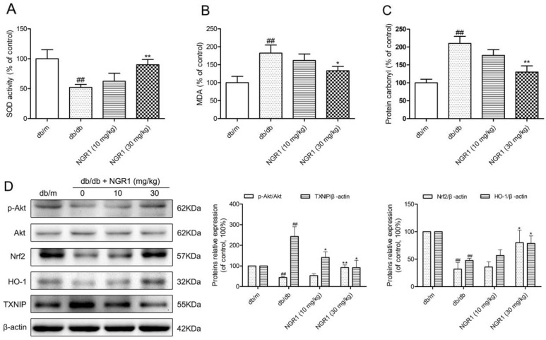 NGR1 inhibits oxidative stress by up-regulating the Akt/Nrf2/HO-1 pathway in the hippocampus of db/db mice (A) SOD activity in the hippocampus of each group. (B) MDA levels in the hippocampus of each group. (C) Protein carbonyl levels in the hippocampus of each group. (D) Representative protein bands and Western blot analysis of Akt, p-Akt, Nrf2, HO-1, and TXNIP in the hippocampus of each group. Values are represented as means ± SD for 3 mice in each group. ## P