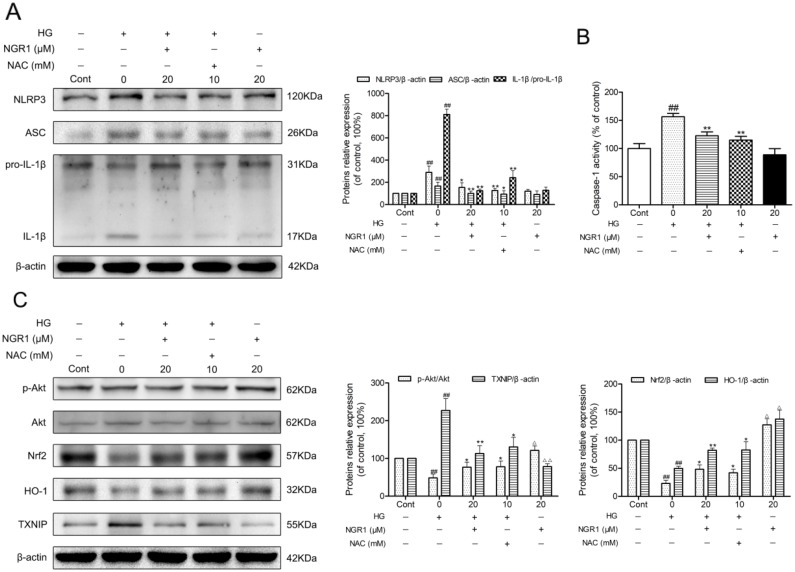 NGR1 activates the Akt/Nrf2/HO-1 pathway, and inhibits NLRP3 inflammasome activation in HG-induced HT22 hippocampal neurons (A) Representative protein bands and Western blot analysis of NLRP3, ASC, and IL-1β in hippocampal neurons. (B) Caspase-1 activity in hippocampal neurons. (C) Representative protein bands and Western blot analysis of Akt, p-Akt, Nrf2, HO-1, and TXNIP in hippocampal neurons. Values are represented as means ± SD from three independent experiments. ## P