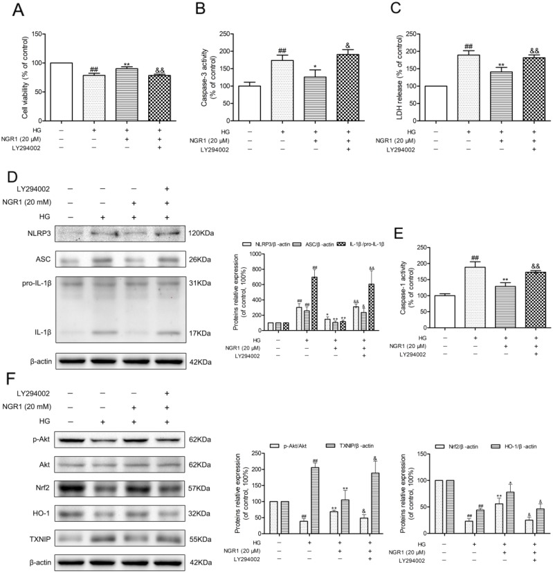 NGR1 exerts neuroprotective effects and inhibition of NLRP3 inflammasome by activating the Akt/Nrf2 pathway (A) Cell viability was measured by MTT assay. (B) Caspase-3 activity in HT22 hippocampal neurons. (C) LDH release in HT22 hippocampal neurons. (D) Representative protein bands and Western blot analysis of NLRP3, ASC, and IL-1β in hippocampal neurons. (E) Caspase-1 activity in hippocampal neurons. (F) Representative protein bands and Western blot analysis of Akt, p-Akt, Nrf2, HO-1, and TXNIP in hippocampal neurons. Values are represented as means ± SD from three independent experiments. ## P