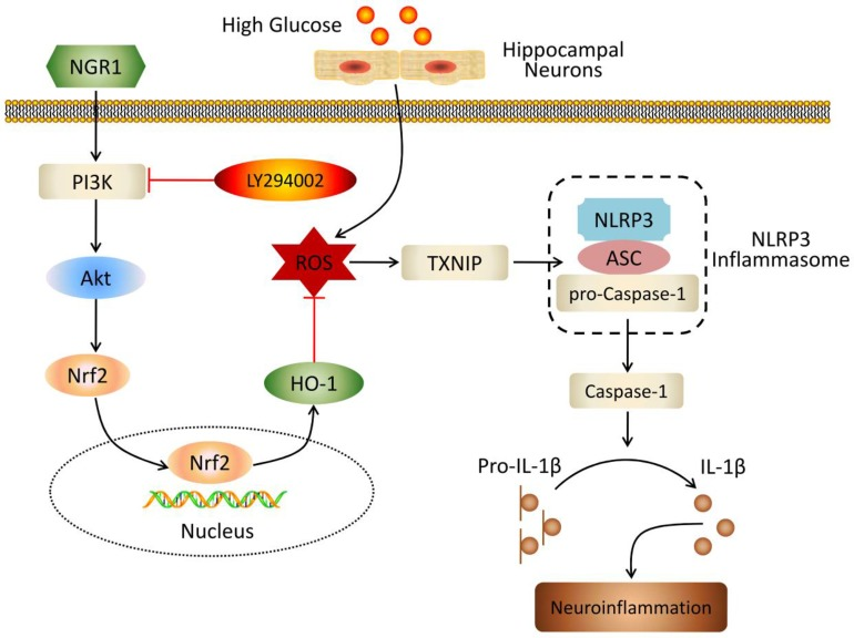 Schematic of NGR1 mechanism of ameliorating DEP by activating the Akt/Nrf2/HO-1 pathway and inhibiting NLRP3 inflammasome activation