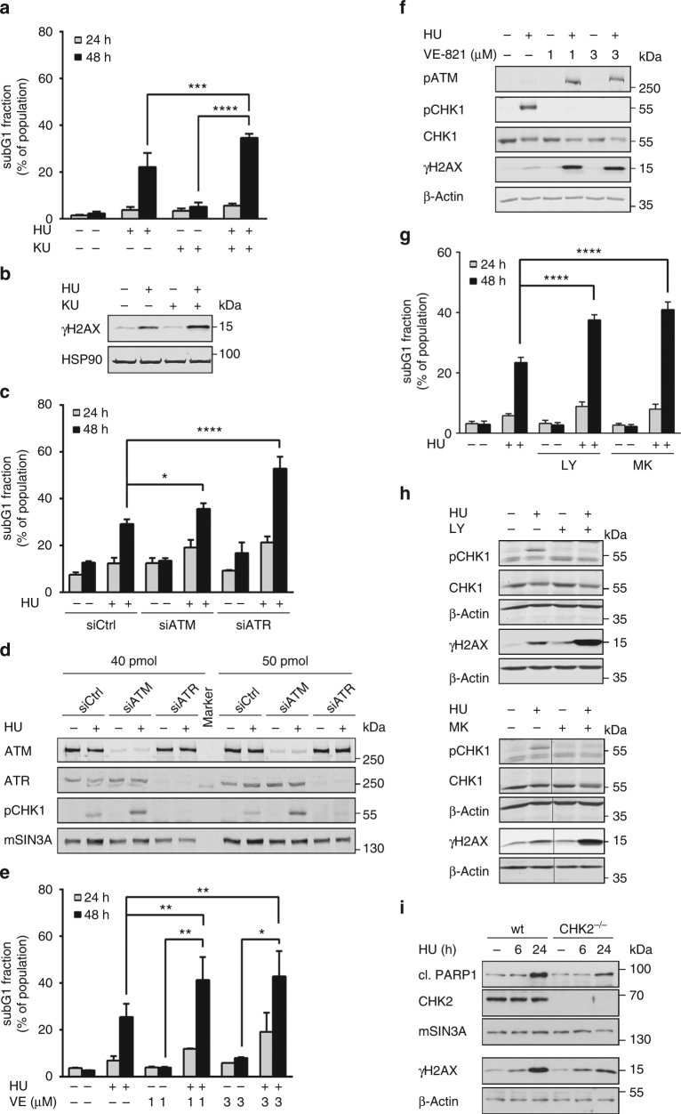 Checkpoint kinases ensure cell survival upon replicative stress. a HCT116 cells were pretreated with 3 µM KU-60019 for 1 h followed by stimulation with 1 mM hydroxyurea (HU) for 24–48 h. Cell death was detected using PI staining and flow cytometry. Results are displayed as mean ± SD ( n 24 h = 3, n 48 h = 4; one-way ANOVA, *** P
