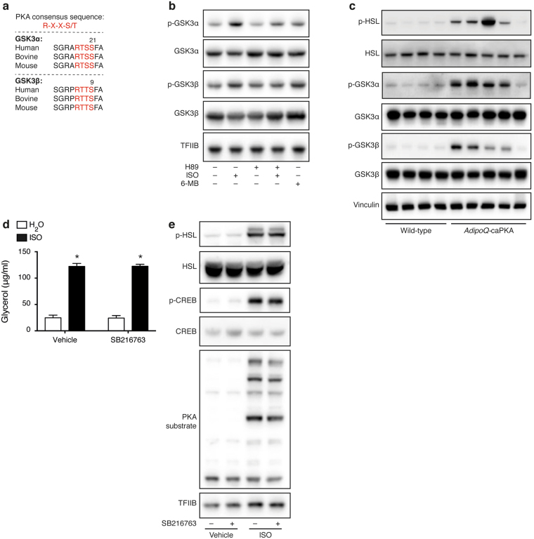 β-Adrenergic GSK3 inactivation is PKA dependent. ( a ) The PKA consensus sites around Ser21 and <t>Ser9</t> in GSK3α and <t>GSK3β,</t> respectively, are conserved in various species. ( b ) Immunoblot analysis of total and phosphorylated GSK3α and GSK3β in immortalized brown adipocytes treated with 40 μM H89 for 1 h before stimulation with 0.1 μM ISO for additional 15 min. Some of the cells were stimulated with 100 μM 6-MB-cAMP (6-MB) for 15 min. ( c ) Immunoblot analysis of total and phosphorylated GSK3α and GSK3β as well as phosphorylated HSL (Ser660) in iBAT from AdipoQ -caPKA and wild-type mice housed at room temperature. ( d ) Medium glycerol of immortalized brown adipocytes pre-treated with 10 μM SB216763 for 1 h before stimulation with 0.1 μM for 24 h. ( e ) Immunoblot analysis of phosphorylated and total HSL (Ser660), CREB (Ser133) and phosphorylated PKA substrates in immortalized brown adipocytes pre-treated with 10 μM SB216763 for 1 h before stimulation with 0.1 μM ISO for 1 h. Vinculin (tissues) or TFIIB (cells) serves as loading control. Data presented as mean of means +SEM (n = 4). Statistical significance was determined by two-way ANOVA with repeated measures and Tukey's post hoc test for multiple comparisons. *p