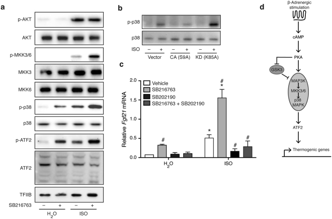 Inhibition of GSK3 promotes activation of the MKK3/6-p38 MAPK-ATF2 signaling module. ( a ) Immunoblot analysis for activating phosphorylations of proteins of the MKK3/6-p38 MAPK-ATF2 signaling module in primary brown adipocytes pre-treated with 10 μM SB216763 for 1 h before stimulation with 0.1 μM ISO for 1 h. ( b ) Immunoblot analysis of total and phosphorylated p38 MAPK in immortalized brown adipocytes overexpressing GSK3β mutants or empty vector. Cells were treated with 0.1 μM ISO for 1 h. ( c ) Fgf21 expression in primary brown adipocytes pre-treated with 10 μM SB202190 (p38 MAPK inhibitor) for 1 h before treatment with 10 μM SB216763 (GSK3 inhibitor) for 1 h, followed by stimulation with 0.1 μM ISO for additional 6 h. ( d ) Schematic presentation of the proposed mechanism through which GSK3 regulates the thermogenic gene program in brown adipocytes. Data presented as mean of means +SEM (n = 3). Statistical significance was determined by two-way ANOVA with repeated measures and Tukey's post hoc test for multiple comparisons. *p