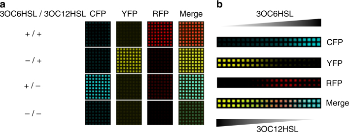 HSL-responsive surface-based patterning of bacterial gene expression. a Surface-based circuit behavior in response to HSLs present in the growth medium at uniform concentration. TOP10 E . coli co-transformed by the RFP reporter plasmid p4g3R and the improved bicistronic controller plasmid pCRB DRT7VTPLux*250 (see Fig. 3 ) were incubated on membranes printed with hydrophobic ink, placed on minimal agar containing different combinations of 3OC6HSL (25 μM) and 3OC12HSL (1 μM). Images shown were captured at t = 1500 min (time relative to start of incubation). Corresponding corrected fluorescence intensities are shown in Supplementary Figure 9 . b Surface-based AND gate behavior in response to HSL gradients. TOP10 E . coli cells co-transformed by controller and reporter plasmids as above were incubated on membranes placed on minimal agar lacking supplemented HSLs. Instead, aqueous solutions containing 500 μM 3OC6HSL or 200 μM 3OC12HSL, respectively, were spotted next to the cells on either side and left to diffuse into the bacterial population from opposite directions. Images shown were captured at t = 3000 min (time relative to start of incubation). Corrected fluorescence intensities recorded over time are shown in Supplementary Figure 10