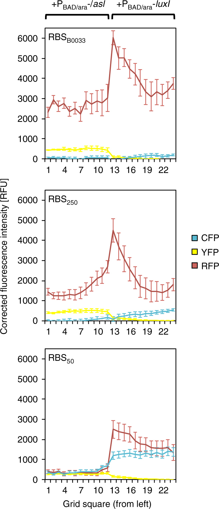 Programmed emergence of an RFP-expressing domain across bacterial populations. TOP10 E . coli were co-transformed by the RFP reporter plasmid p4g3R, a bicistronic controller plasmid pCRB DRT7VTPLux*(500/250/50), and a sender plasmid pSB1C3 I0500 (LuxI/LasI) encoding either luxI or lasI under control of the arabinose-inducible P BAD/araC promoter. Adjacent populations of the different triple-transformed cell types were incubated on membranes placed on minimal nutrient agar which has or has not been supplemented with 25 mM arabinose. Fluorescence intensity of each quadrant at t = 3000 min (time relative to start of incubation), corrected for background signal present in the absence of arabinose, is plotted against position (genotype boundary between quadrants 12 and 13). Error bars represent the s.d. of average values between the 12 equidistant quadrants on each membrane. Corresponding images captured at t = 3000 min are shown in Supplementary Figure 11