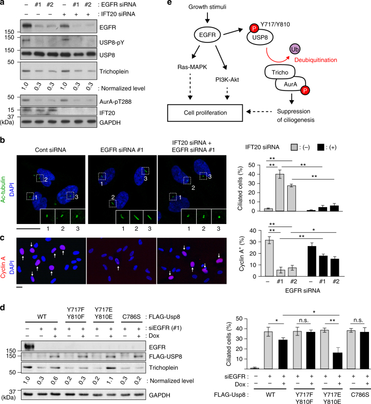 EGFR contributes cell cycle progression through USP8-trihocplein pathway-mediated cilia suppression. a–c Twenty-four hours after transfection with control or IFT20 siRNA, RPE1 cells were further transfected with control or EGFR siRNA (#1 or #2) and then cultured for 48 h in normal medium (10% FBS). The cells were analyzed by immunoblotting with indicated antibodies ( a ), and immunofluorescence staining with anti-acetylated-tubulin and anti-cyclin A to evaluate percentages of ciliated cell ( b ) and cyclin A-positive cell ( c ), respectively. Scale bars, 20 μm. d TetOn-RPE1 FLAG-USP8 (WT, Y717F/Y810F, Y717E/Y810E, C786S) cells were transfected with control or EGFR siRNA (#1) and then cultured for 48 h in the presence or absence of Dox (10 ng ml −1 ). Immunoblotting analysis with indicated antibodies (left) and percentages of ciliated cell (right) are shown. e Proposed model: normalized intensities of trichoplein/GAPDH in a and d are shown as mean from three independent biological replicates. Graphs represent mean ± SD from three independent experiments ( n > 200 each). ** p