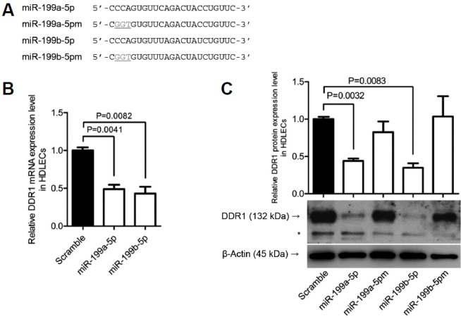 Effects of miR-199a/b-5p mimics on expression of DDR1 mRNA and protein (A) Sequence of miR-199a/b-5p and the mutant forms of miR-199a/b-5p (miR-199a/b-5pm); mutants have nucleotide substitutions at two to four sites within the miRNA. (B) Reduction in DDR1 mRNA levels by miR-199a/b-5p. HDLECs were transfected with 20 nM miR-199a/b-5p mimics or the scrambled control, and levels of DDR1 mRNA were measured by qRT-PCR. Relative gene expression was calculated according to the comparative Ct method, using GAPDH as an internal control ( n = 3). Error bars indicate standard deviation (SD). (C) Effects of miR-199a/b-5p on DDR1 protein expression. HDLECs were transfected with 20 nM miR-199a/b-5p mimics or the scrambled control. To confirm the sequence-specific function of miR-199a/b-5p, miR-199a/b-5p mutants (miR-199a/b-5pm) were also transfected. Cell lysates were examined by Western blot analysis with an anti-DDR1 polyclonal antibody (1:500) at 48 h post-transfection; an anti-β-actin antibody (1:1000) was used to normalize protein loading. Three sets of independent experiments were performed, and representative results are shown in the lower panel; asterisk ( * ) indicates nonspecific band. The density of each protein band was quantified using Fujifilm Multi Gauge software version 3.0 and expressed as a ratio to the density of the band from the scrambled control. Upper panel shows mean ± SD values of the three independent experiments.