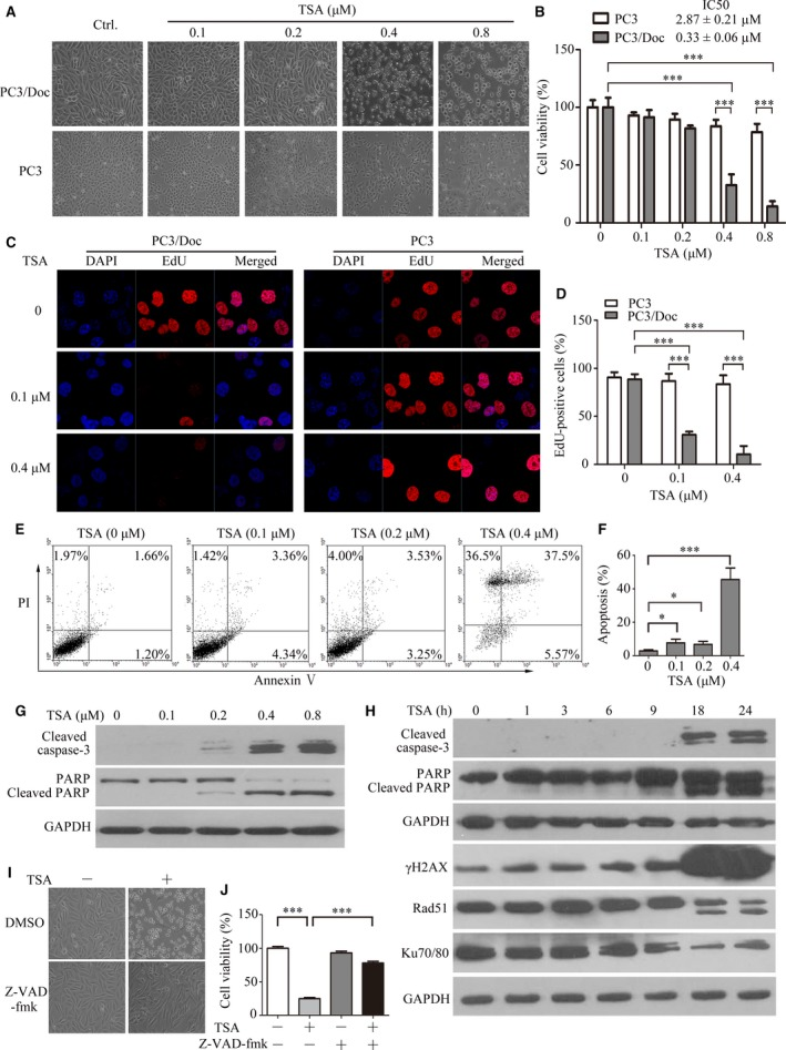 Effect of TSA on docetaxel‐sensitive and docetaxel‐resistant PC a cells. ( A ) The morphological changes after 24‐hrs treatment with 0, 0.1, 0.2, 0.4 and 0.8 μM of TSA in PC 3 and PC 3/Doc cells. ( B ) Cell viability was determined by the MTT assay after treatment with different TSA concentrations for 24 hrs in PC 3 and PC 3/Doc cells. ( C ) Cell proliferation was examined by EdU incorporation assay at 16 hrs after TSA treatment, and ( D ) EdU‐positive cells were calculated. ( E ) Detection of apoptotic cells after annexin V/ PI staining by flow cytometric analysis after treatment with 0, 0.1, 0.2 and 0.4 μM of TSA for 24 hrs in PC 3/Doc cells and ( F ) the population of the apoptotic cell was calculated. ( G ) Cleaved <t>caspase‐3</t> and PARP expression were examined for cells treated with TSA at various concentrations for 24 hrs. ( H ) Western blot analysis of the cleaved caspase‐3, PARP , rH 2 AX , Rad 51 and Ku70/80 in PC 3/Doc cells treated with TSA (0.4 μM) at different time‐points. ( I ) Morphological changes and ( J ) cell viability in the absence or presence of pan‐caspase inhibitor (z‐ VAD ‐fmk). PC 3/Doc cells were exposed to 10 μM z‐ VAD ‐fmk for 2 hrs prior to TSA (0.4 μM) or vehicle treatment for 24 hrs. * P