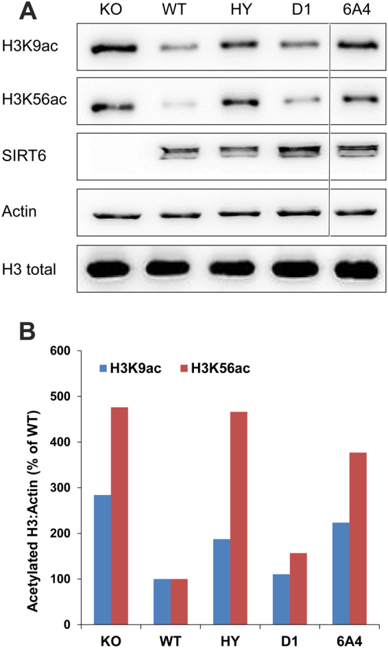 SIRT6 deacetylation of H3K9Ac and H3K56ac in MEFs. SIRT6 deacetylation activity was measured using western blot analysis with specific antibodies. Analysis was performed on crude cell lysates prepared from equal amount of KO MEFs cells that stably express the different SIRT6 variants, including WT, D1, 6A4 and the non-catalytic H133Y (HY). ( A ) Western blot analysis, the line highlights the deletion of non-relevant mutant's analysis from the gel (original blots are shown in Supplementary Fig. S9 ) ( B ) Quantification of the western blot by image J to assess the activities of the D1 and 6A4 mutants relative to the WT and HY mutant. The western blot analysis is a representative gel from three independent repeats.