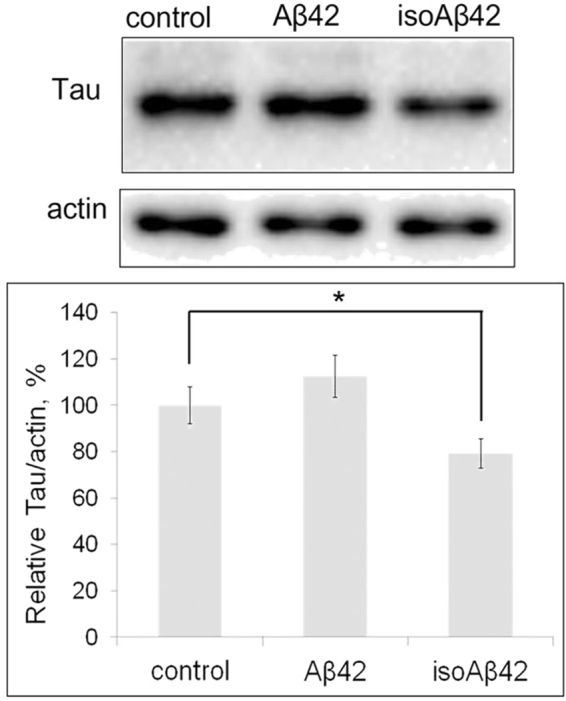Effect of Aβ42 and isoAβ42 (10 μM, 6 h) treatment on the total tau protein level. After incubation with the amyloid peptides, the SH-SY5Y cells were lysed, the proteins in the cell lysate were separated by SDS-PAGE, and total tau was detected by Western blot using antibodies against total tau. The total tau level is expressed as a percentage of the tau level in the control group, which was not treated with Aβs. The bars represent the changes in the total tau level. Each value is the mean ± SD of at least three independent experiments; *p