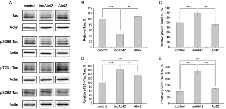 Effect of Aβ42 and isoAβ42 treatment (10 μM, 24 h) on the total tau level and the phosphorylated tau level in SH-SY5Y cells. After incubation with Aβ42 or isoAβ42, the cells were lysed, and the proteins were separated by SDS-PAGE and detected by Western blot using antibodies against total tau, phosphorylated S396 tau, phosphorylated T231 tau or phosphorylated S262 tau ( A ). The bars represent the changes in the total tau level ( B ), phosphorylated S396 tau ( C ), phosphorylated T231 tau ( D ) or phosphorylated S262 tau ( E ), expressed as a percentage of the total tau level in the control group, which was not treated with Aβ. Changes to tau phosphorylation levels were normalized to its total amount. Each value is the mean ± SD of at least three independent experiments; *p