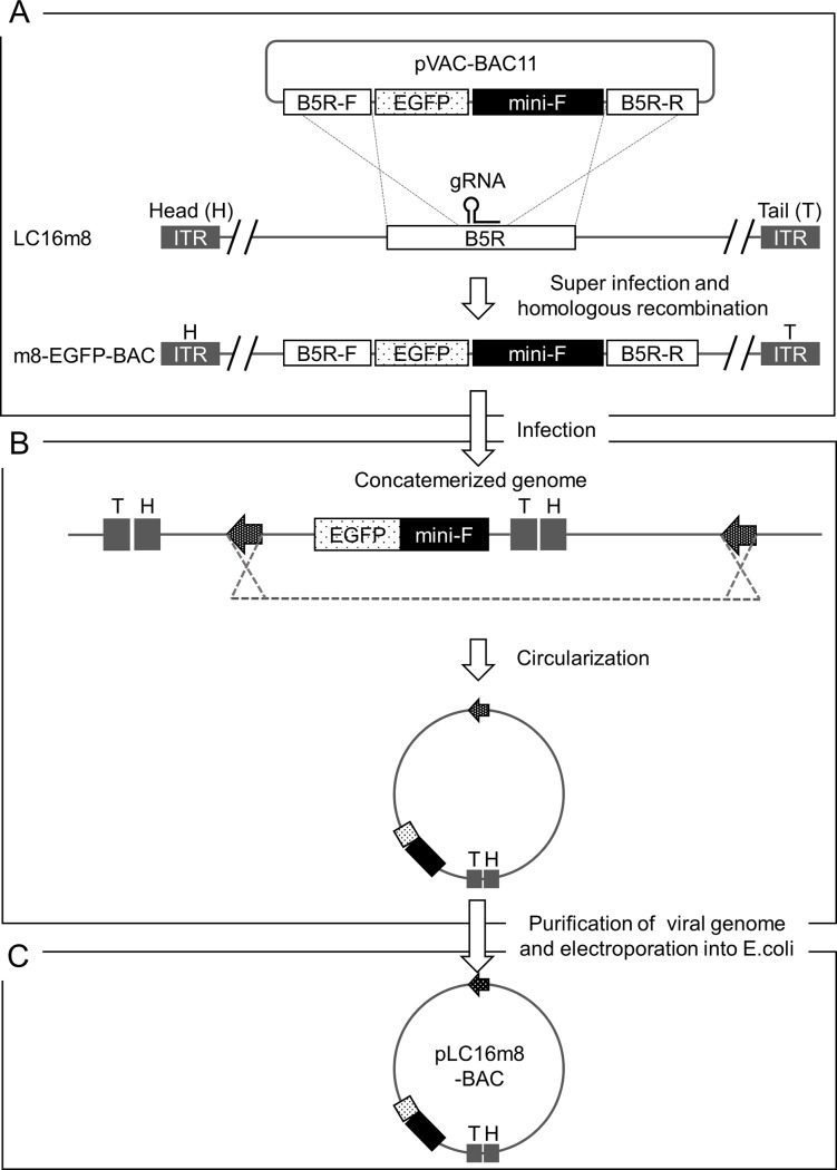 Scheme to generate a VAC-BAC plasmid, pLC16m8-BAC. A recombinant VAC, m8-EGFP-BAC, was generated by homologous recombination accelerated by a CRISPR-Cas9 system (A). pVAC-BAC11 harbors an EGFP expression cassette driven by an early and late VAC promoter and a mini-F cassette, which is essential for plasmid maintenance in E . coli . The cassettes were flanked by the front (B5R-F) and rear (B5R-R) part of the VAC B5R gene. Note that the gRNA targeted the sequence on the m8 genome but not on the pVAC-BAC11. m8-EGFP-BAC was used to infect RK13 cells (B). The virus genome formed replication intermediates, concatemers, some of which were circularized was purified from the infected RK13 cells with the addition of IβT. An electrocompetent E . coli was transformed by a circularized virus genome (arrows) of the concatemerized genome, and the chloramphenicol-resistant cells were cloned (C). The VAC-BAC plasmids obtained from the clones were named pLC16m8-BAC.