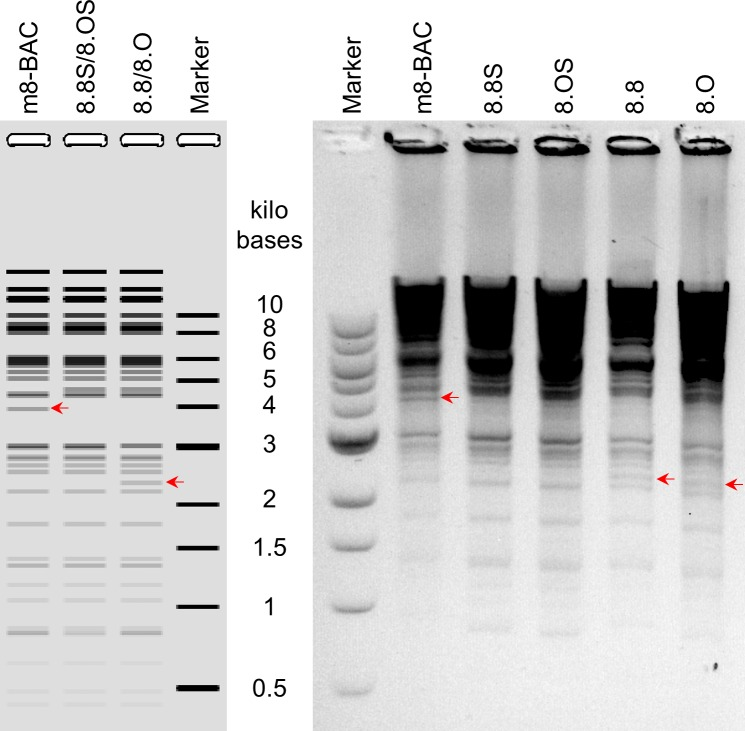 Restriction fragment analysis of BAC plasmids. Prediction of NcoI digested fragment patterns based on the sequences of pLC16m8-BAC and the derivatives were shown (A). Purified BAC plasmids, pLC16m8-BAC (m8-BAC), pLC16m8.8S/8.OS-BAC (8.8S or 8.OS) and pLC16m8.8/8.O (8.8/8.O) were digested with NcoI and separated on a 0.75% agarose gel (B). Color of the gel was inverted. Sizes of a molecular weight marker are shown as marker, and the sizes are given. Changes in the restriction pattern due to the presence of EGFP, mini-F cassettes or rear part of B5R are indicated with a red arrow.