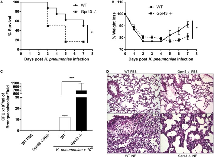 Gpr43 −/− mice are more susceptible to Gram-negative [ Klebsiella pneumoniae ( Kp )] lung infection. (A) Survival rate of mice were observed during 7 days following intratracheal Kp (1 × 10 6 CFU). (B) Weight loss infection post- Kp infection. (C) Bacterial burden in the airways was assessed in bronchoalveolar fluid [bronchoalveolar lavage (BAL)] 48 h post- Kp infection. (D) Representative photographs of H E-stained sections of lung from wild-type mice control [WT phosphate-buffered saline (PBS)], wild-type mice Kp infected (WT INF), Gpr43 −/− mice control (Gpr43 −/− PBS) and Gpr43 −/− mice infected (Gpr43 −/− INF). Scale bar—400 mm. Results are expressed as mean ± SEM of 8–10 mice per group. *Statistical difference ( P