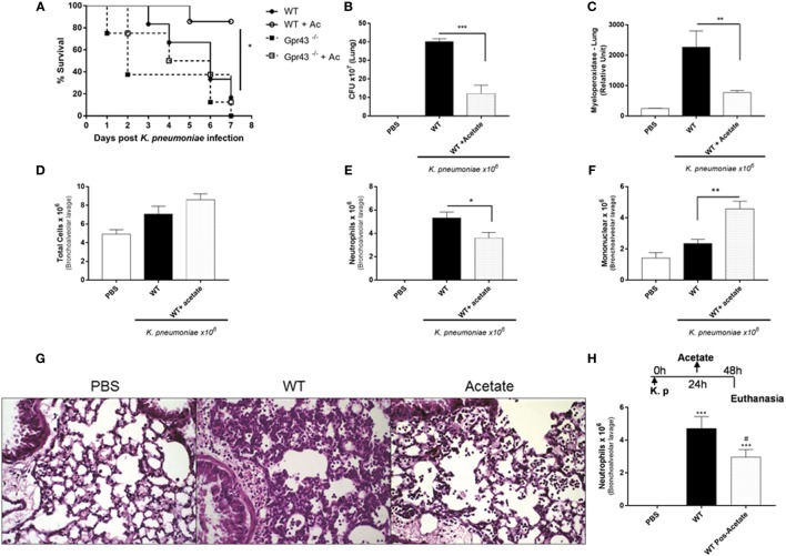 Oral Treatment with the Gpr43 metabolic ligand, acetate in the lung 48 h after Klebsiella pneumoniae ( Kp ) infection. (A) Survival rate of mice pretreated for 5 days with acetate were observed during 7 days following intratracheal Kp (1 × 10 6 CFU). (B) Bacterial burden in the airways was assessed in lung 48 h post- Kp infection. (C) Myeloperoxidase activity in homogenized lungs harvested from wild-type and wild-type pretreated for 5 days with acetate. (D) Number of total infiltrated cells, (E) neutrophils, and (F) mononuclear cells in airway spaces recovered using bronchoalveolar lavage were counted at 48 h post- Kp infection. (G) Representative photographs of H E-stained sections of lung from wild-type mice control [phosphate-buffered saline (PBS)], wild-type mice Kp infected, and wild-type pretreated 5 days with acetate Kp infected (acetate). Scale bar—400 mm. (H) Number of neutrophils from posttreatment mice with acetate (150 mM) by gavage 24 h after Kp infection. Results are expressed as mean ± SEM of 8–10 mice per group. *Statistical difference ( P