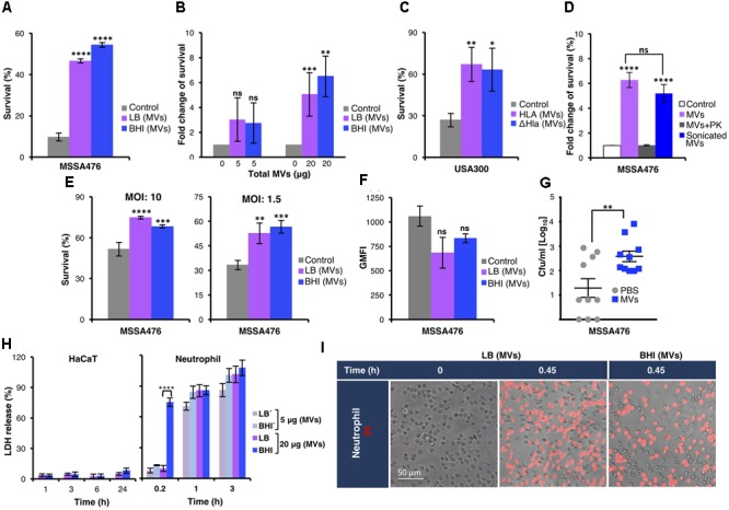Staphylococcus aureus  MVs promote bacterial survival in human whole blood and in the presence of neutrophils  ex vivo  and  in vivo .  (A)  Survival of  S. aureus  MSSA476 in blood is increased in the presence of 20 μg MV (0.1 μg/μl) isolated from MSSA476 grown in LB and BHI [marked as LB (MVs) or BHI (MVs) in the figure] compared to absence of MVs (marked as control in the figure). The number of inoculated bacteria at time point 0 was set to 100% and the number of surviving bacteria after 3 h is represented as the percentage of inoculation.  (B) S. aureus  MSSA476 survival in blood is increased in the presence of MVs, in a dose-dependent manner (5–20 μg of total MVs, i.e., 0.025–0.1 μg/μl). The number of surviving bacteria after 3 h in the absence of MVs was arbitrary set as 1, and the number of surviving bacteria in the presence of MVs is represented as the fold change compared to bacteria in the absence of MV.  (C)  Survival of USA300 MRSA in human blood is increased in the presence of MVs isolated from USA300 (MV-Hla) and USA300ΔHla (MV-ΔHla) grown in BHI. The percentage of survival was calculated as described in  (A) .  (D)  Sonication of purified MVs followed by proteinase K (PK) treatment abolished the effect of MVs on bacterial survival in human whole blood. The fold change of survival was calculated as described in  (B) .  (E)  Survival of opsonized  S. aureus  MSSA476 in the presence of neutrophils is enhanced by supplementation of MVs isolated from bacteria growing in LB and BHI. Percentage of survival was calculated as described in  (A) .  (F) S. aureus  MSSA476 were labeled with FITC and incubated with human whole blood in the absence or presence of MVs isolated from MSSA476 grown in LB and BHI. Data represents geometric mean of the fluorescence intensity (GMFI).  (G)  Bacterial loads in the blood (CFU/ml) of 8-week-old C57BL/6 mice were counted 24 h after the mice were intravenously infected with  S. aureus  MSSA476 supplemented with PBS or an exogeno