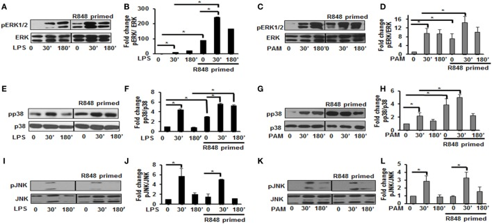 Distinct increase of MAPK phosphorylation in R848-primed bone marrow-derived macrophages (BMDMs). BMDMs were preexposed to R848 (100 ng/mL) or medium alone for 24 h, washed and subsequently challenged with LPS (500 ng/mL) or PAM (500 ng/mL) for different time periods as indicated. Whole cell extracts were prepared and subjected to SDS-PAGE and Western blot analysis using phosphorylated antibodies against ERK1/2, p38, and c-Jun NH(2)-terminal kinase (JNK). Equal loading was determined using antibodies against total ERK, total p38, and total JNK. Representative results of Western blots are shown out of a total of five independent experiments. Densitometry analysis is expressed as fold increase of the ratio phosphorylated protein/total protein. Expression of pERK in the absence or presence of LPS (A,B) and PAM (C,D) , expression of pp38 in the absence or presence of LPS (E,F) and PAM (G,H) , and expression of pJNK in the absence or presence of LPS (I,J) and PAM (K,L) . Densitometry results shown are mean of five independent experiments. A p value