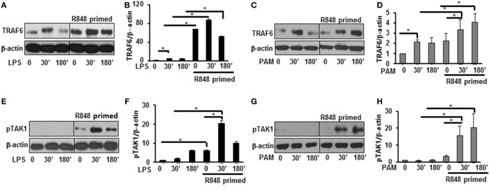 R848-primed bone marrow-derived macrophages (BMDMs) exhibit increased expression and activation of toll-like receptor signaling molecules. BMDMs were preexposed to R848 (100 ng/mL) or cultured in medium for 24 h, washed and subsequently challenged with LPS (500 ng/mL) or PAM (500 ng/mL) for different time periods. Whole cell extracts were prepared and subjected to SDS-PAGE and Western blot analysis using specific antibodies against TRAF6, pTAK1, and β-actin for equal loading was performed. Representative results of Western blots are shown out of a total of five independent experiments. Densitometry analysis expressed as fold increase of the ratio of specific protein/β-actin. TRAF6 in the absence or presence of LPS (A,B) and PAM (C,D) . Phosphorylated TGF-β-activated kinase 1 in the absence or presence of LPS (E,F) and PAM (G,H) . Densitometry results shown are mean of five independent experiments. A p value