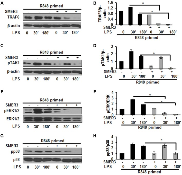 Small-molecule enhancer of rapamycin (SMER) 3 decreases MAPKs phosphorylation in R848-primed bone marrow-derived macrophages (BMDMs). BMDMs were preexposed to either R848 (100 ng/mL) or R848 and the E3 ubiquitin ligase inhibitor SMER3 (5 µM) for 24 h, cells were washed and subsequently challenged with LPS for different time periods. Whole cell extracts were subjected to SDS-PAGE and Western blot analysis performed using antibodies against TRAF6 and phosphorylated forms of TGF-β-activated kinase (TAK) 1, ERK1/2, and p38. TRAF6/β-actin or phosphorylated protein/total protein values of TRAF6 (A,B) , densitometry analysis expressed as fold increase of the ratio of phosphorylated TAK1 (C,D) , phosphorylated ERK1/2 (E,F) , and phosphorylated p38 (G,H) . Densitometry results shown are mean of five independent experiments. Representative results of Western blots are shown out of a total of five independent experiments. A p value